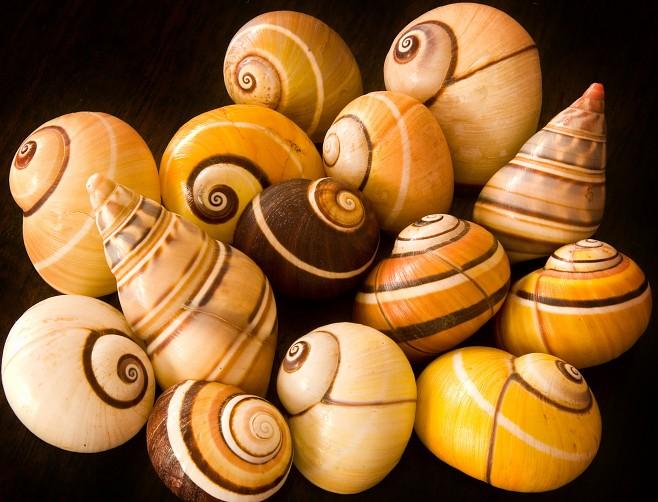 cuban-polimita-snails