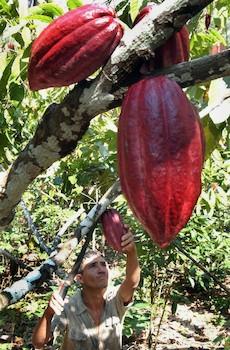 fruit-du-cacao
